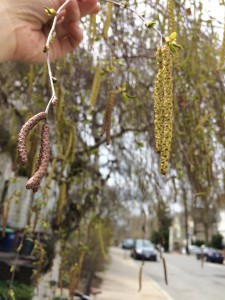 other birch catkin